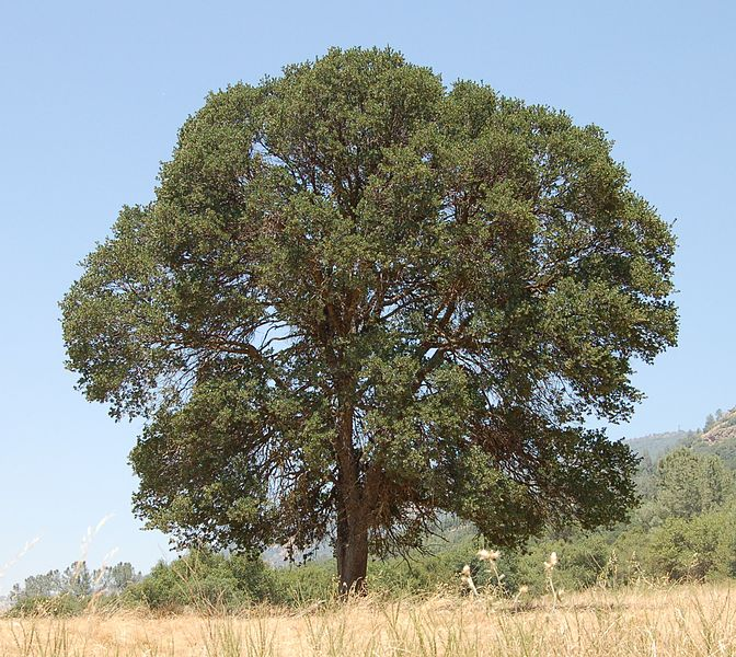 Large Oak Tree Image