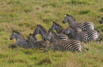 Uploaded Image Iow Zebras