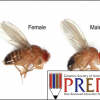 Behavioral Genetics: Investigating the genes of a complex phenotype in fruit flies