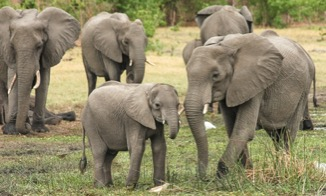 Examining human impacts on tusk evolution in elephants using authentic research data