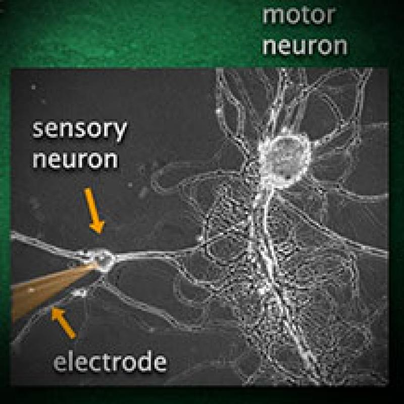 Electrical and chemical communication in the nervous system
