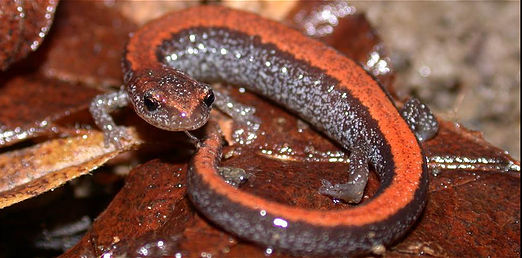 How Many Salamanders are in the forest? Testing capture-recapture