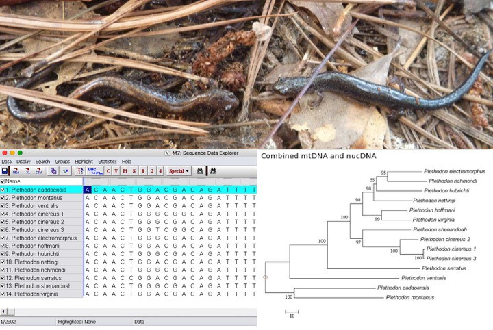 One species, two species, red species, lead species? Phylogenetics and species concepts with Plethodon salamanders
