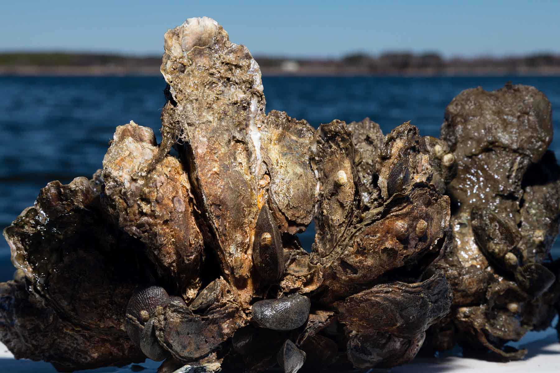 Oyster Restoration Success and Water Quality in the James and Rappahannock Rivers of Virginia