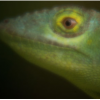 lizard hhmi narrow.PNG