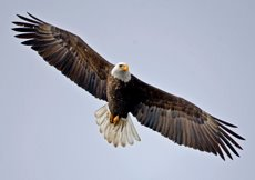 Exploring the population dynamics of wintering bald eagles through a population model