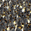 King penguin colony_photo by Greg Cunningham.png